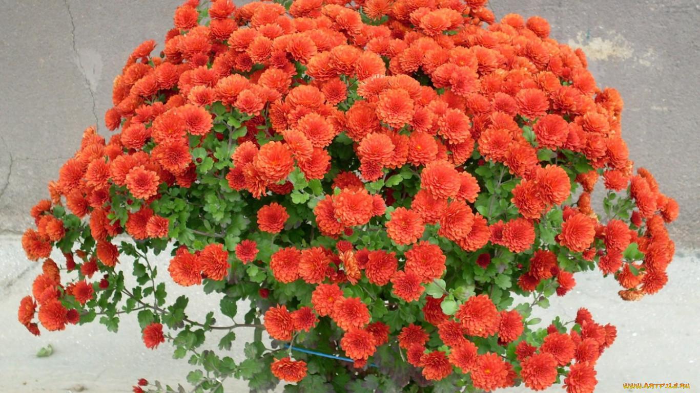 Хризантема. Уход за цветком в домашних условиях, фото 22